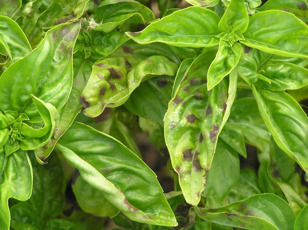 Keep your Basil alive: Common reasons basil is dying